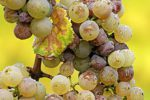 Grapes and Noble Rot