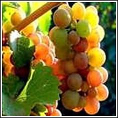 Pinot gris grape
